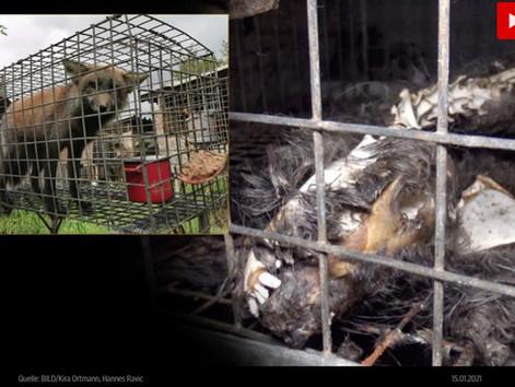 BILD berichtet über unsere Einsätze gegen die  Tierfabriken der Pelzindustrie.