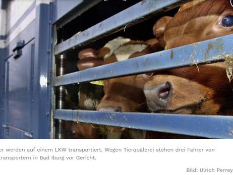 Kuh gequält - Gericht belogen - Keine Befähigung für Tiertransport - 300 EUR