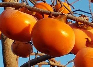 Kaki Früchte.jpg