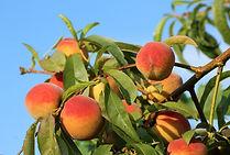 peaches-3540394_1920.jpg