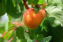 apricot-4363217_1920.jpg