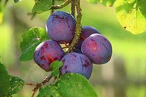 plums-276075_1920.jpg