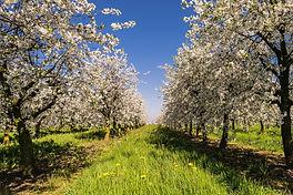 Aronia-Apfelbeere