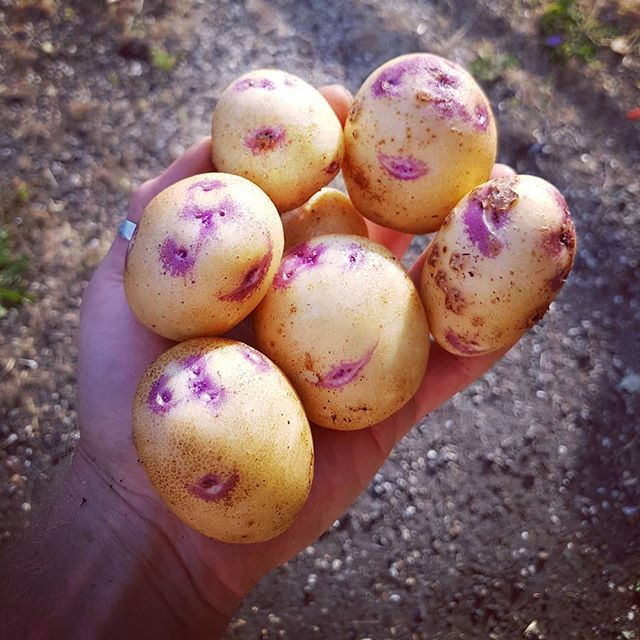 This #handfull of #kestralpotatoes are #smiling at me and I'm smiling back these #smilingladies are