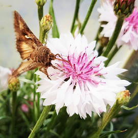 A Cornflower and a moth #cornflower #mot
