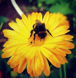 #bumblebee #marigold