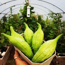 #achocha #boliviangiant. First crop going to #kingsheadwye. A strange vining plant