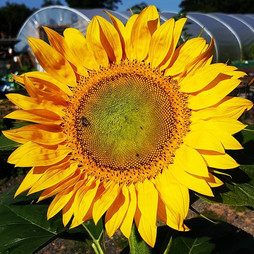 #sunflower for a #sunnyday. This #giants