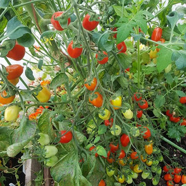 #tomatoplants are really getting #colour
