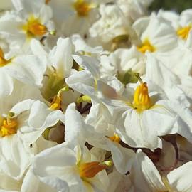#potatoflowers #hotsummersmorning.jpg