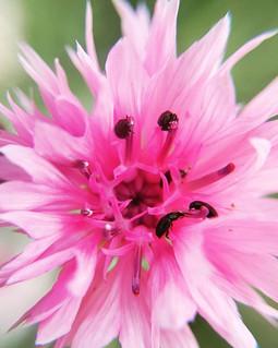 #fleabeetles are back #cornflower