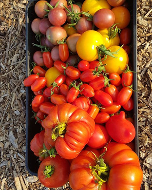 #tomatoes #grownfromseed on the way to #