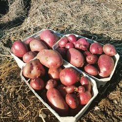 #Whoneedssoilanyway. These #reddukeofyork new potatoes were grown in hay.  Simply put a good layer o