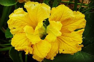 A #doubleflower on #bluebananasquash loo