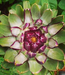 #artichokeflower #grownfromseed #biannual #phiratio