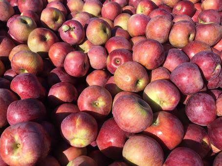 It's Apple Season!Recipes - Oct. 9th-13th