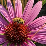 bumble bee bombus mixtus (2).png