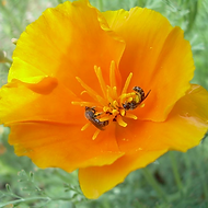 CA Poppy Suzie S (2).png