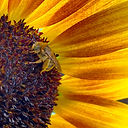 longhorn bee on sunflower (2).JPG