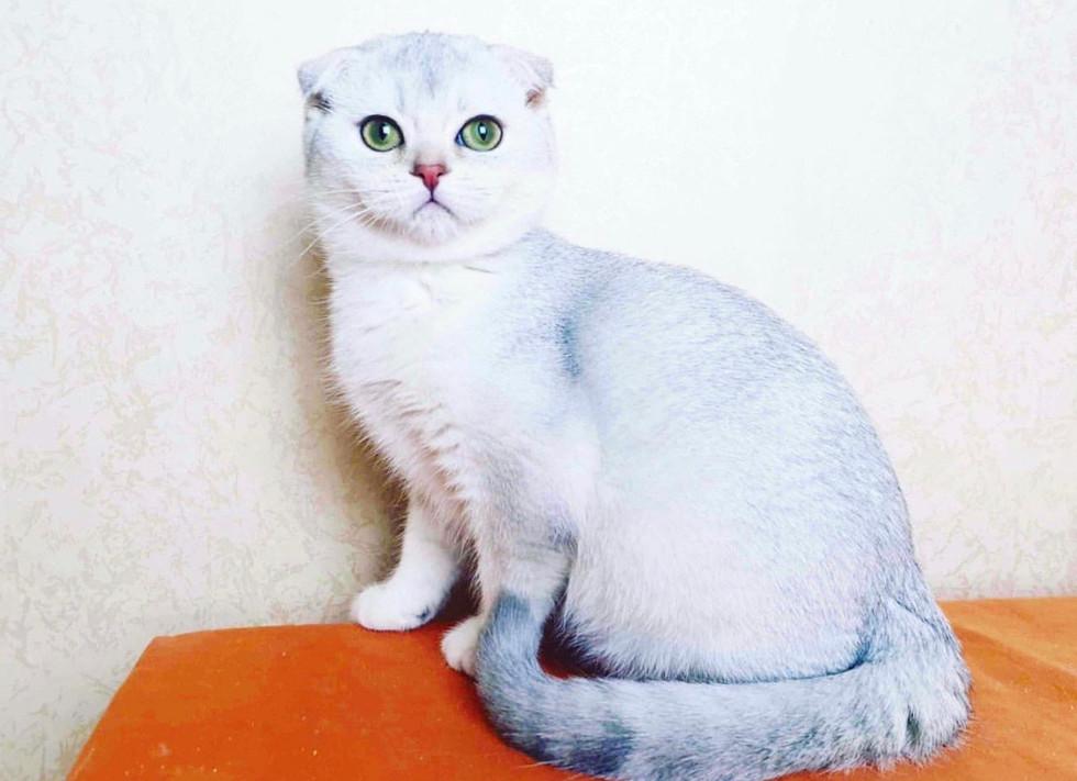 FIONA Scottish Fold Kitten available .jp