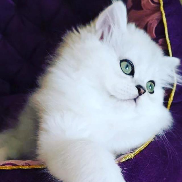 Scottish Fold Kittens .jpg