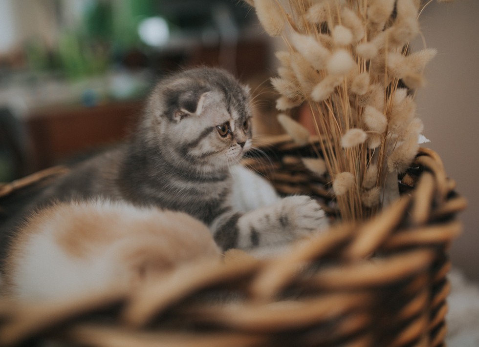 Female_Kitten_Scottish_Fold.jpg