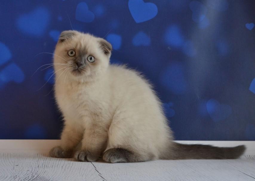 Lenny Scottish Fold male kitten.jpg