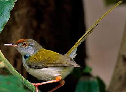 Freda completes project on common tailorbird song!