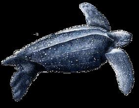 Dermochelys-coriacea-(Tortuga-Laúd-o-sie