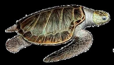 Lepidochelys-olivácea-(Tortuga-olivácea-