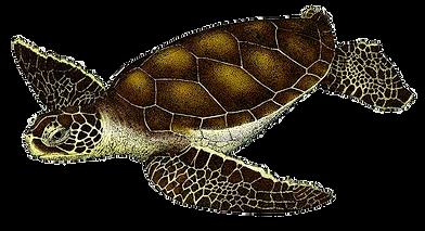 Eretmochelys-imbricata-(Tortuga-Carey).p