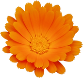 kisspng-calendula-officinalis-flower-chr
