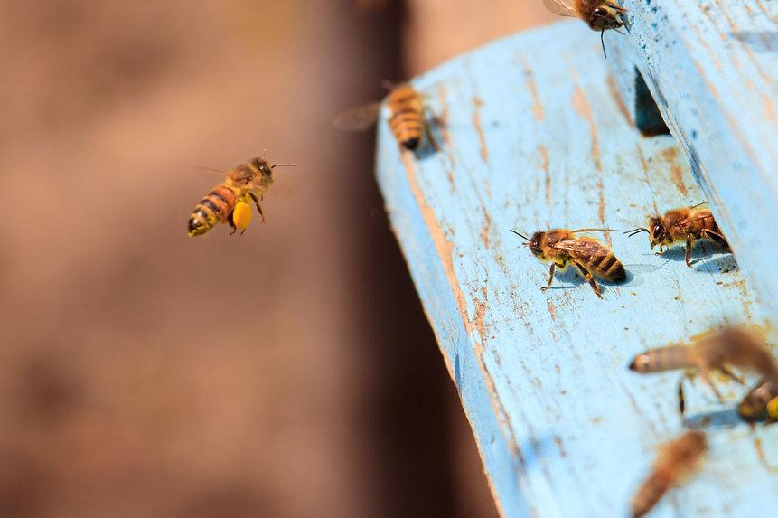 99J-Apiceuticals-closeup-honeybees-flyin