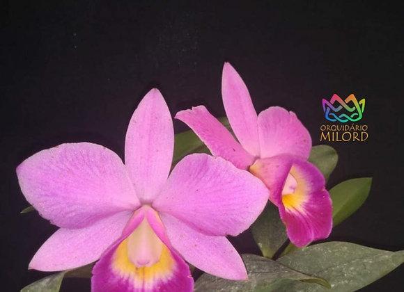 Cattleya mini milord