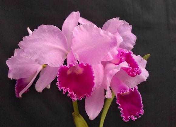 Cattleya trianae var. tipo
