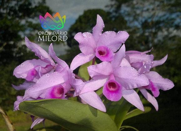 Cattleya deckeri