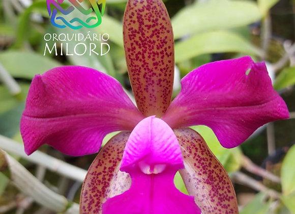 Cattleya leopoldii trilabelo