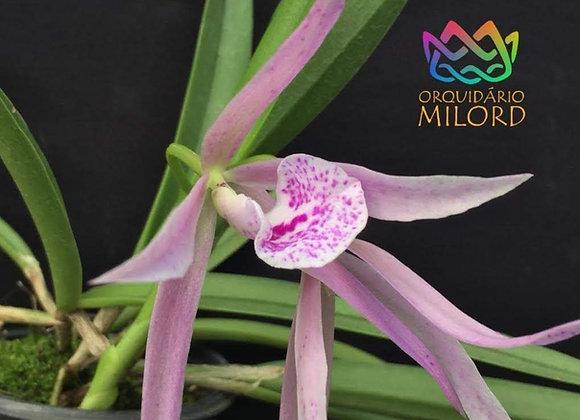 Cattleya bowringiana x Brassavola grandiflora
