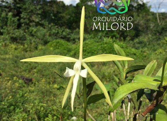 Epidendrum carpophorum