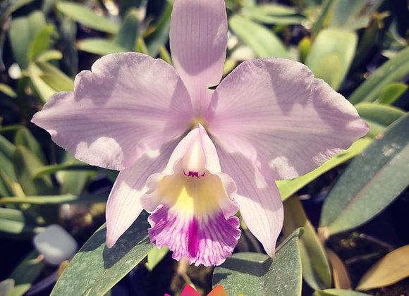 Cattleya philyra x Cattleya canhamiana