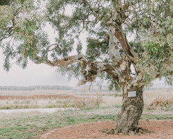Our beautiful gumtree