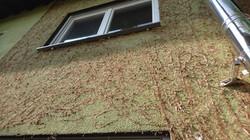 Efeureste an Fassade