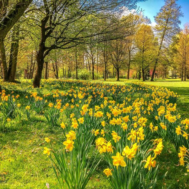 daffodils-2231083_1920.jpg
