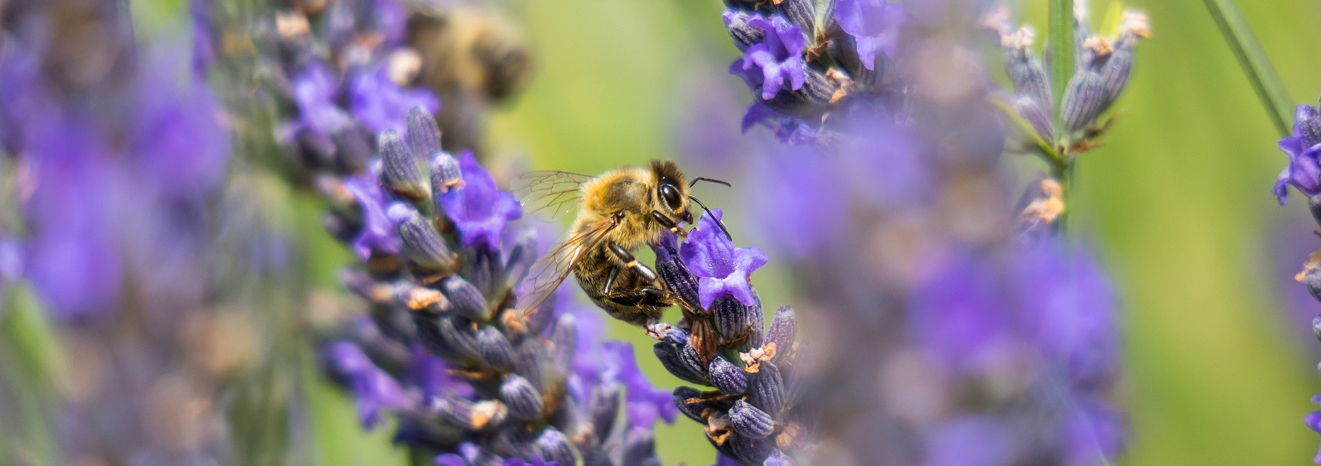 lavender-4356162_1920.jpg