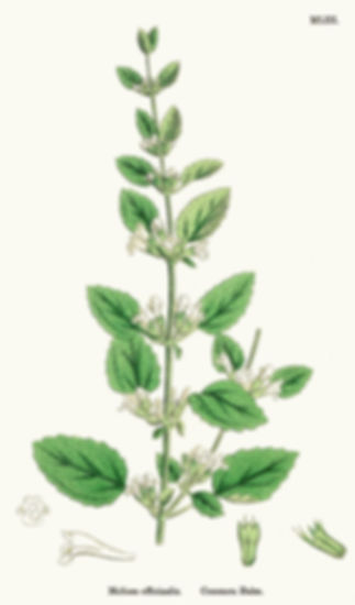 MELISSE OFFICINALE.jpg