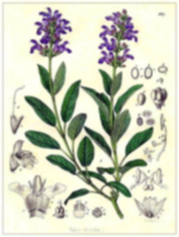 SAUGE OFFICINALE.jpg