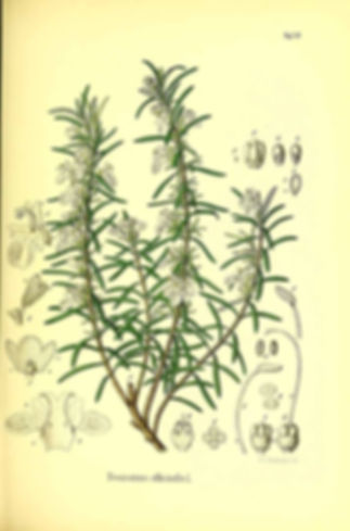 ROMARIN OFFICINALE.jpg