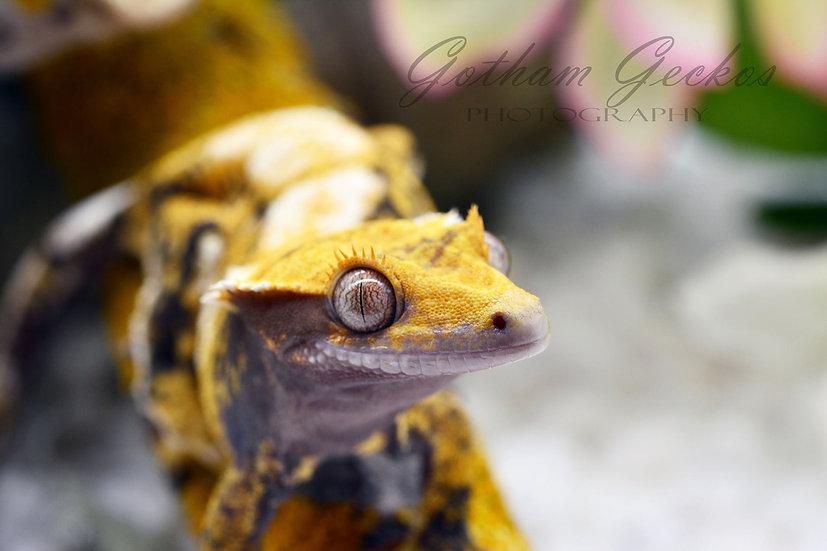 CQ/Mars Crested Gecko Photo Prints 11x17