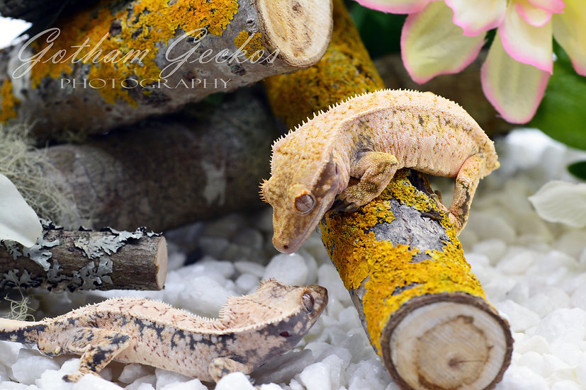 Crested Gecko Photo Prints 11x17