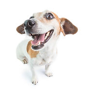 Dog with clean teeth